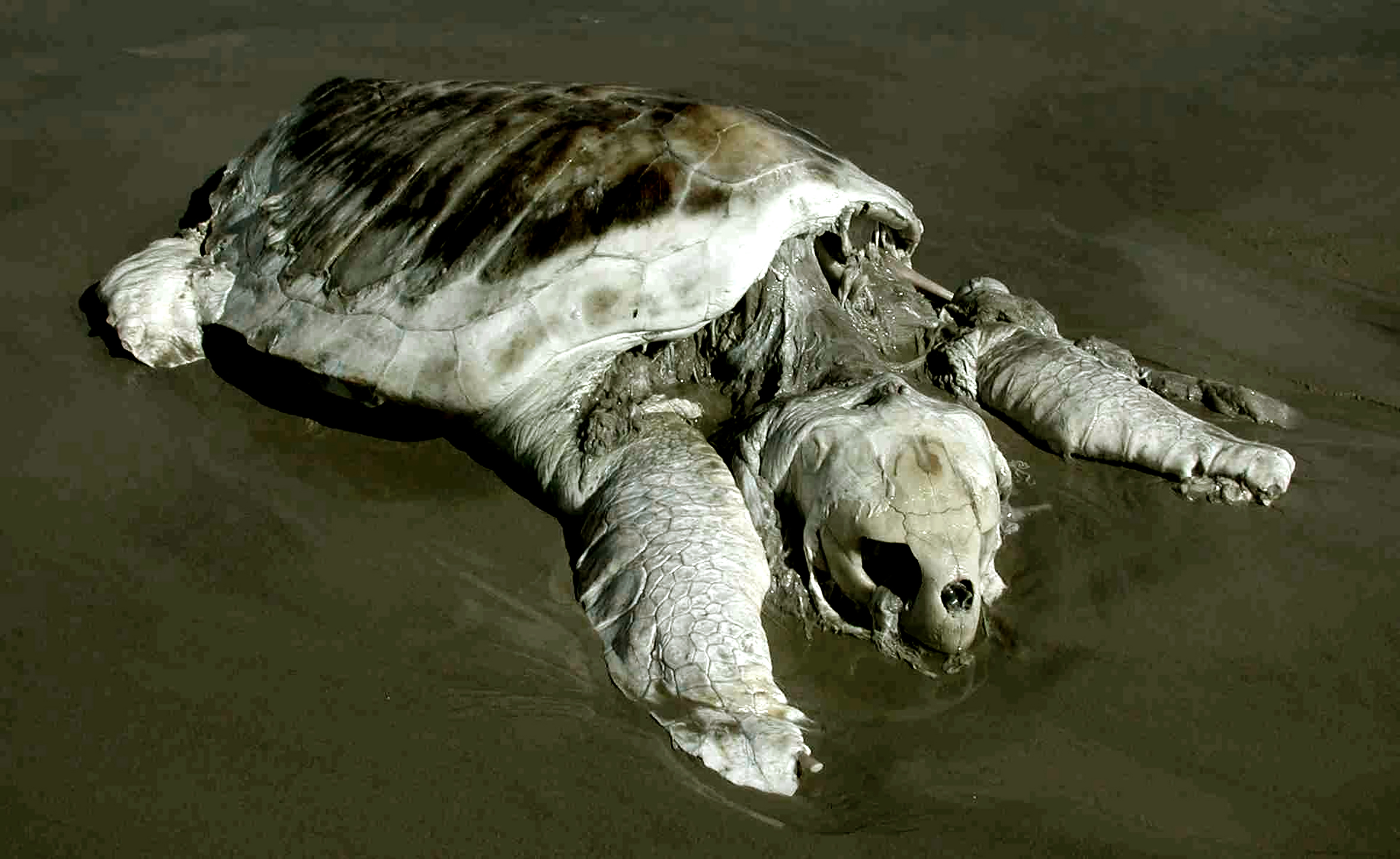 Carcass of a Now Extinct Turtle